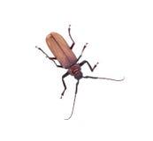 scarabée Insescts-Long-à cornes sur le fond blanc Image stock