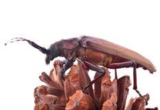 scarabée Insescts-Long-à cornes sur le fond blanc Photos stock