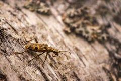 Scarabée jaune de Longhorn de scarabée sur l'écorce Photos libres de droits