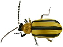 Scarabée jaune noir Photo stock