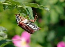 scarabée Le scarabée sur la feuille verte de sauvage s'est levé photos libres de droits