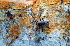 scarabée Long-à cornes (asper de funereus de Morinus) Photographie stock