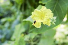 Scarabée noir de courge sur la fleur photo libre de droits