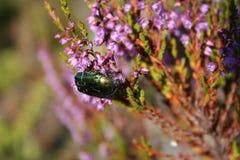 Scarabée rassemblant le nectar Photos libres de droits