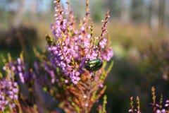 Scarabée rassemblant le nectar Photo libre de droits