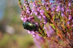 Scarabée rassemblant le nectar Image libre de droits