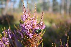 Scarabée rassemblant le nectar Photo stock