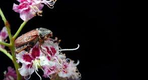 scarabée Scarabées sur une fleur de châtaigne plan rapproché de fleur de châtaigne Photo stock