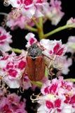 scarabée Scarabées sur une fleur de châtaigne plan rapproché de fleur de châtaigne Images stock