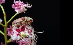 scarabée Scarabées sur une fleur de châtaigne plan rapproché de fleur de châtaigne Photo libre de droits