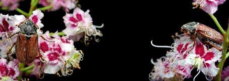 scarabée Scarabées sur une fleur de châtaigne plan rapproché de fleur de châtaigne Image libre de droits