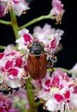 scarabée Scarabées sur une fleur de châtaigne plan rapproché de fleur de châtaigne Photographie stock libre de droits