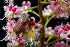 scarabée Scarabées sur une fleur de châtaigne plan rapproché de fleur de châtaigne Photographie stock