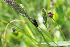 Scarabée sur l'herbe verte Image libre de droits