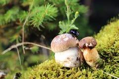 Scarabée sur les champignons Images libres de droits