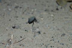 Scarabée sur un sable Photos libres de droits