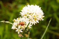 Scarabée sur une fleur Images stock