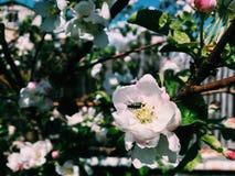 Scarabée sur une fleur Photos stock