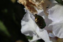 Scarabée sur une fleur d'été image libre de droits