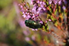 Scarabée vert Image libre de droits