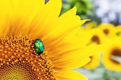 Scarabée vert clair en gros plan de scarabée rose recueillant le pollen du champ d'usine de tournesol Fond coloré vibrant d'été images stock