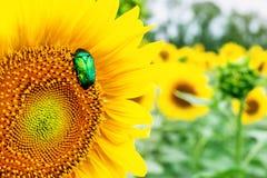 Scarabée vert clair en gros plan de scarabée rose recueillant le pollen du champ d'usine de tournesol Fond coloré vibrant d'été photos stock