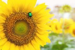 Scarabée vert clair en gros plan de scarabée rose recueillant le pollen du champ d'usine de tournesol Fond coloré vibrant d'été image stock