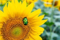 Scarabée vert clair en gros plan de scarabée rose recueillant le pollen du champ d'usine de tournesol Fond coloré vibrant d'été photo stock