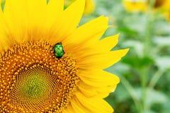 Scarabée vert clair en gros plan de scarabée rose recueillant le pollen du champ d'usine de tournesol Fond coloré vibrant d'été images libres de droits