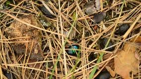 Scarabée vert de dor rampant sur la terre dans la forêt d'automne clips vidéos