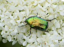 Scarabée vert sur l'hortensia de blanc de pétales Images libres de droits
