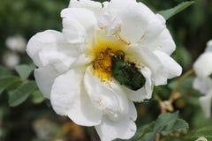 Scarabée vert sur la fin rose blanche de fleur comme fond ou carte de voeux photos stock