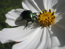 Scarabée vert sur la fleur Photographie stock libre de droits