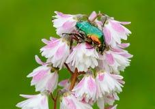 Scarabée vert sur un Deutzia de fleur Images libres de droits