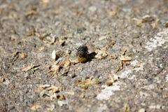 Scarabées de Dung Image libre de droits
