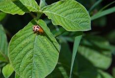 Scarabées de Ladybird Image stock