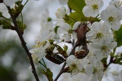 Scarabées de mai sur une branche de cerise fleurissante Photos stock