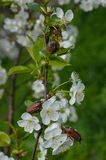 Scarabées de mai sur une branche de cerise fleurissante Images libres de droits