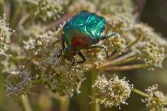 Scarabées de scarabée Photographie stock