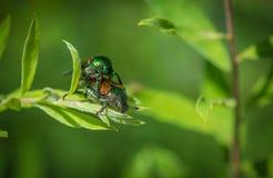 Scarabées de scarabée joignant sur une usine Photographie stock