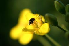Scarabées jaunes de jeu de fleur et d'amour Photographie stock