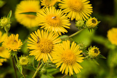Scarabées joignant sur la fleur jaune Image libre de droits