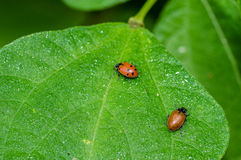 Scarabées rouges d'insecte de dame alimentant sur une feuille Image stock