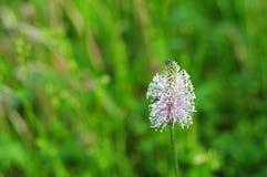 Scarabées sur une fleur de ribwort Images libres de droits