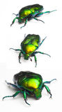 Scarab. Macro scarab in 3 different angles Stock Images