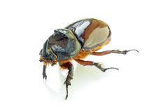 Scarab beetle. With a shadow on a white background Royalty Free Stock Images