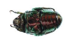 Scarab beetle Stock Images