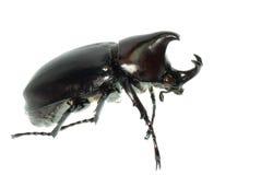 Scarab beetle Royalty Free Stock Photo