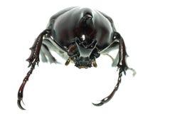 Scarab beetle Stock Photos