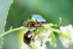 Scarab beetle. On a flower - great shallow dof on head and stunning colours stock images